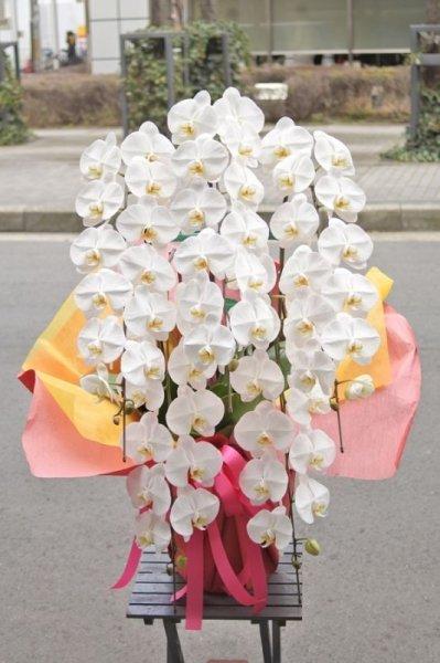 画像1: 胡蝶蘭大輪(白)五本立ち50,000円(大阪市北区中央区福島区西区限定) (1)